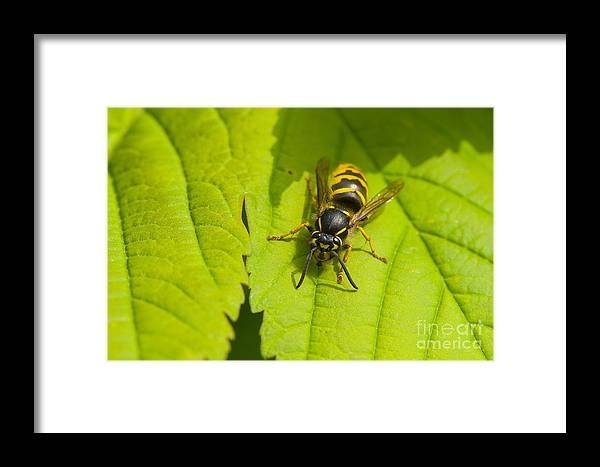 Common Wasp Framed Print featuring the photograph Common Wasp by Steen Drozd Lund
