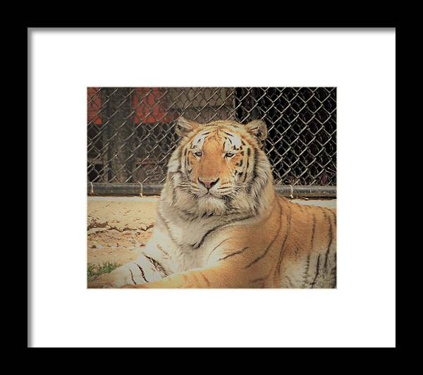 Siberian Tiger Framed Print featuring the photograph Composure by Tracy Bell