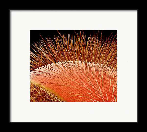 Apis Sp. Framed Print featuring the photograph Compound Eye Of A Bee, Sem by Susumu Nishinaga