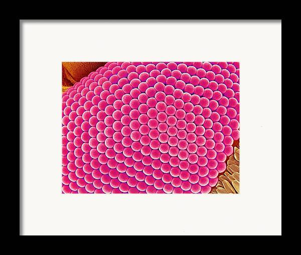 Asian Tiger Mosquito Framed Print featuring the photograph Compound Eye Of A Mosquito, Sem by Susumu Nishinaga