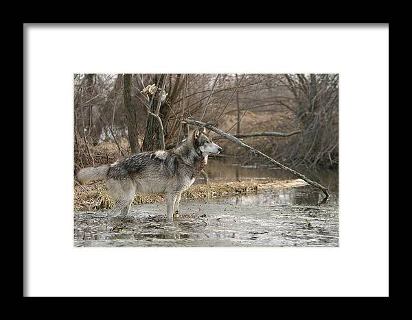 Wolf Canid Canus Lupis Wildlife Wild Animal Mammal Gray Grey Timberwolf Photograph Photography Digital Art Framed Print featuring the photograph Concentration by Shari Jardina