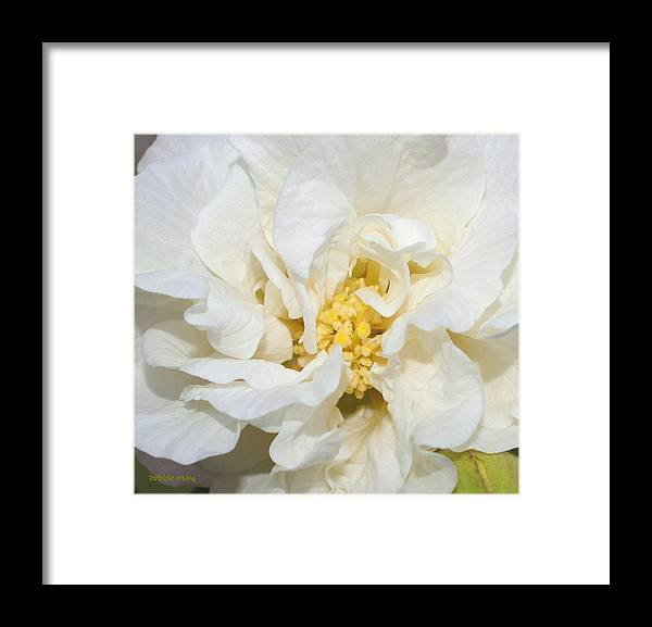 Botanical Framed Print featuring the photograph Confederate Rose Close - Photosbydm by Debbie May
