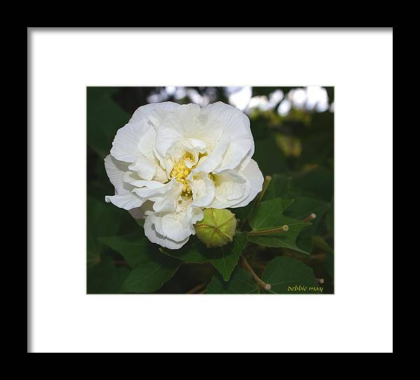 Botanical Framed Print featuring the photograph Confederate Rose by Debbie May