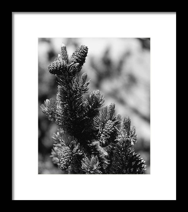 Nature Framed Print featuring the photograph Conifer by Allan McConnell