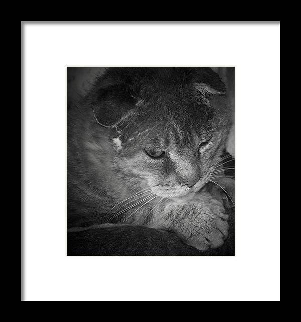 Cat Framed Print featuring the photograph Contemplation Of Thumbody In Black And White by Deborah Montana