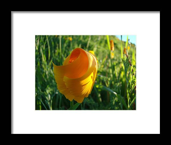 �poppies Artwork� Framed Print featuring the photograph Contemporary Orange Poppy Flower Unfolding In Sunlight 10 Baslee Troutman by Baslee Troutman