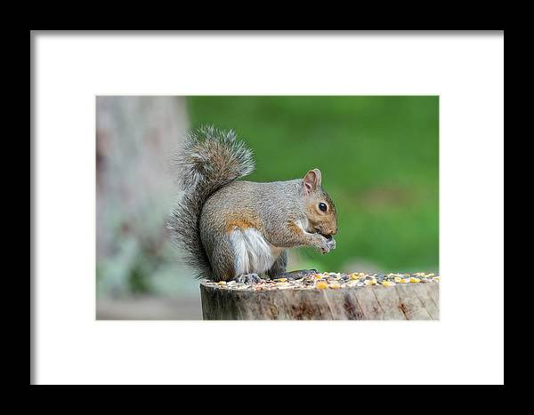 Squirrel Framed Print featuring the photograph Content Eating by Dan Friend