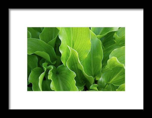 Plant Framed Print featuring the photograph Contoured Leaves by Michele Stoehr