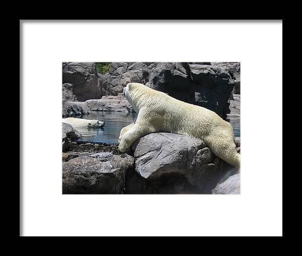 Bears Framed Print featuring the photograph Cool Bears by Myrna Salaun