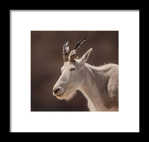 Mountain Goat Framed Print featuring the photograph Cool Down by Kent Keller