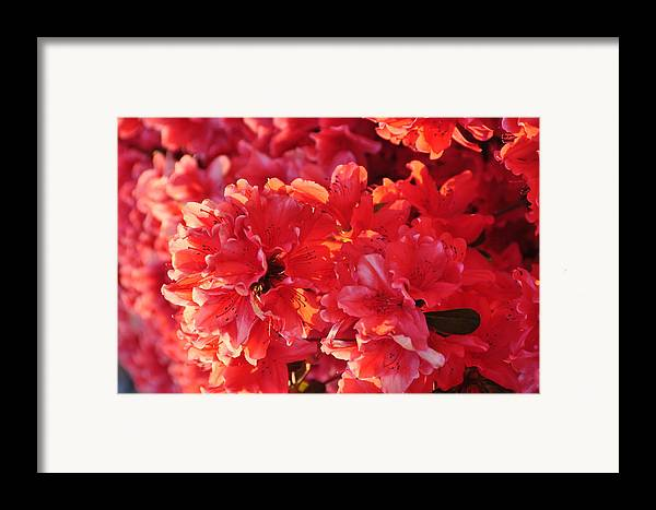 Floral Framed Print featuring the photograph Coral Pink Azaleas by Jan Amiss Photography