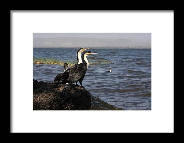 Cormorant Framed Print featuring the photograph Great Rift Cormorants by Aidan Moran