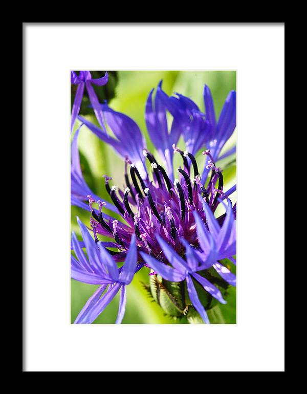 Flower Framed Print featuring the photograph Corn Flower 3 by Edward Myers