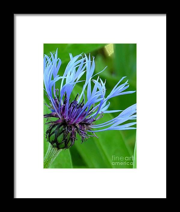 Blue Framed Print featuring the photograph Cornflower Centaurea Montana by Diane Greco-Lesser