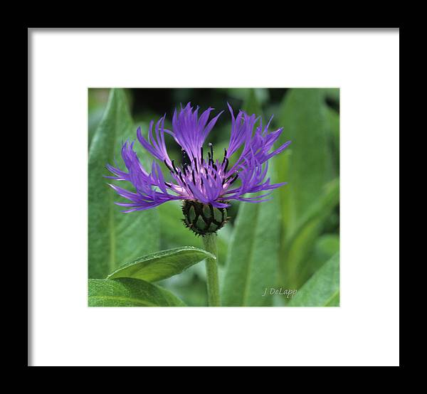 Cornflower Framed Print featuring the photograph Cornflower Purple Surprise V2 by Janet DeLapp