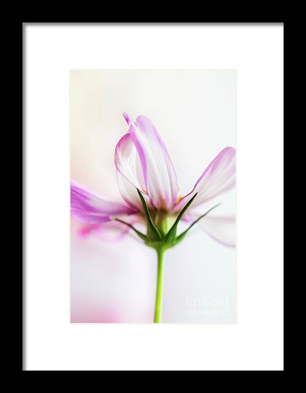 Cosmos Framed Print featuring the photograph Cosmos 6 by Elena Nosyreva