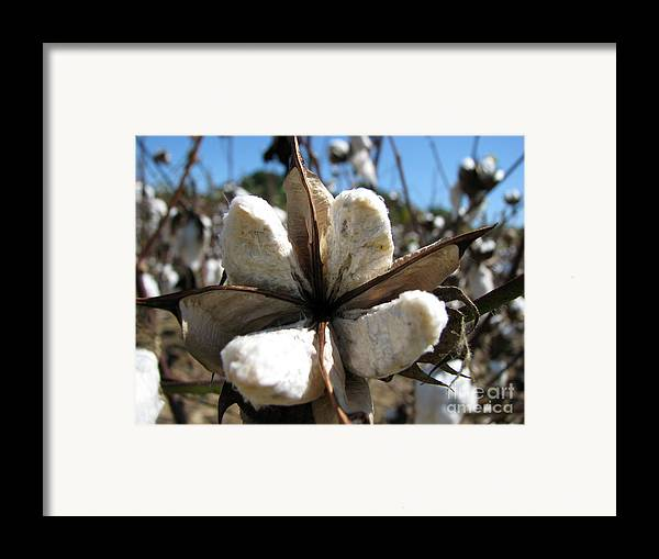 Cotton Framed Print featuring the photograph Cotton by Amanda Barcon