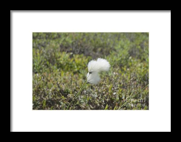 New England Framed Print featuring the photograph Cotton Grass -eriophorum Virginicum- by Erin Paul Donovan