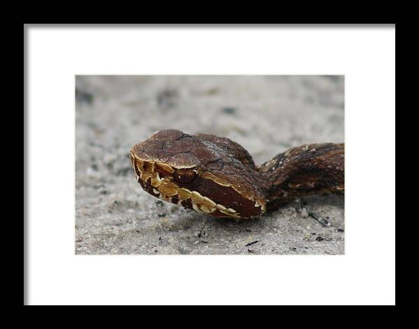 Cotton Mouth Framed Print featuring the photograph Cottonmouth by Dana Blalock