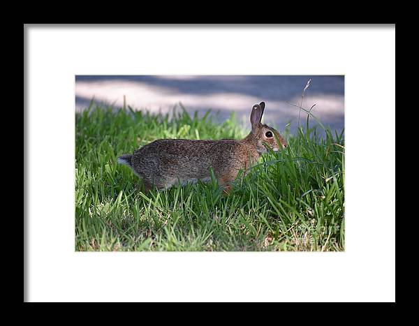 Rabbit Framed Print featuring the photograph Cottontail Rabbit In My Front Yard by Denise Crawford