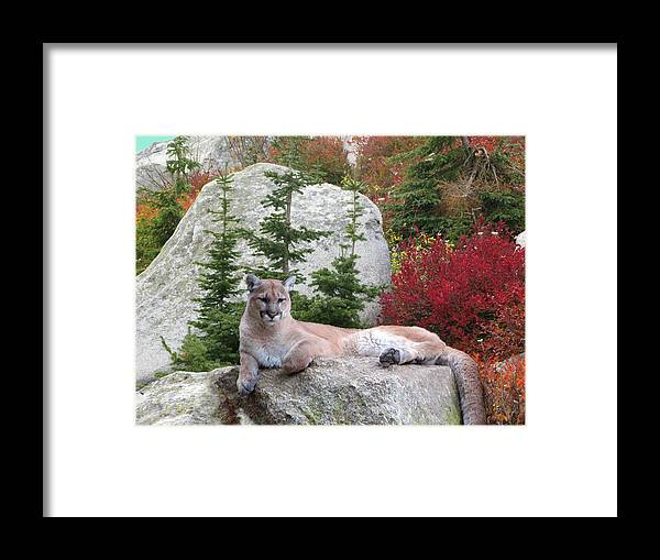 Cougar Framed Print featuring the photograph Cougar On Rock by Robert Bissett
