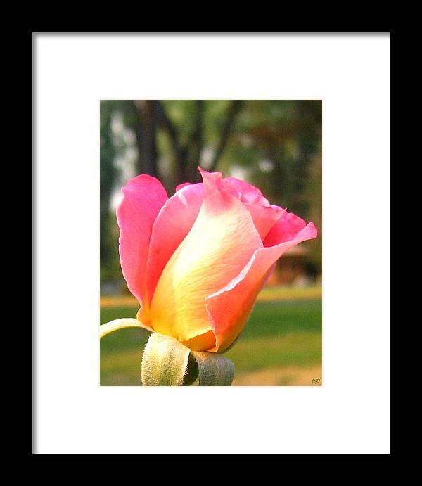 Rose Framed Print featuring the photograph Country Rose by Will Borden