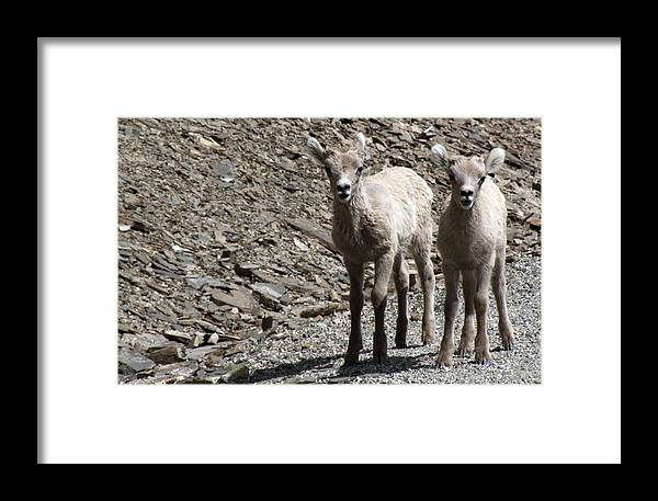 Baby Framed Print featuring the photograph Couple Of Cuties- Baby Bighorn by Tiffany Vest