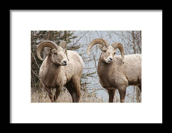Bighorn Sheep Framed Print featuring the photograph Couple Of Rams- Banff National Park by Tiffany Vest