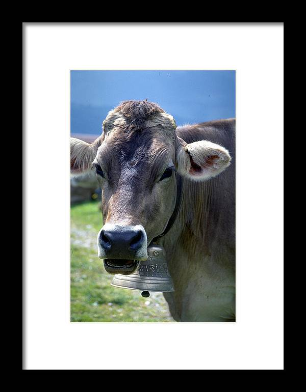 Cow Framed Print featuring the photograph Cow by Flavia Westerwelle