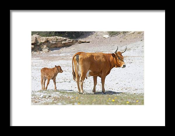 Cow Framed Print featuring the photograph Cows by Elisa Locci
