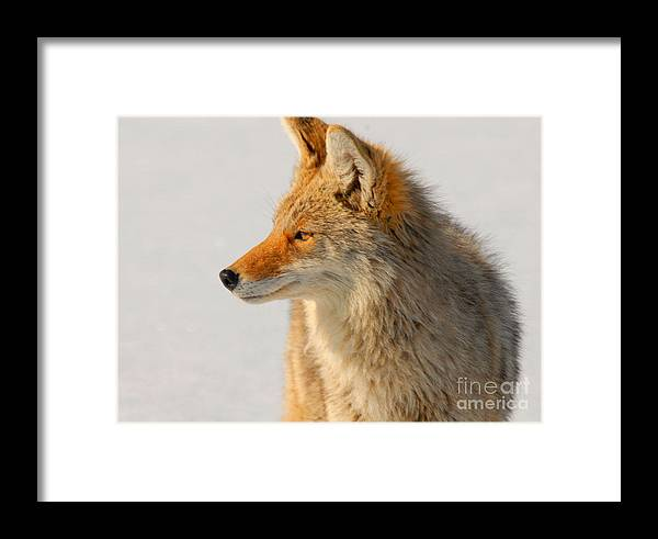 Coyote Framed Print featuring the photograph Coyote by Dennis Hammer