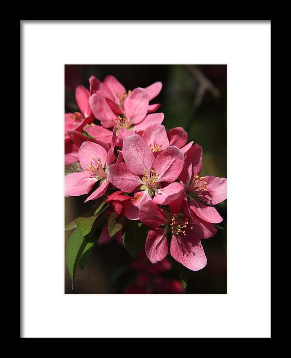 Tree Framed Print featuring the photograph Crab Apple Blossoms by Lyle Hatch