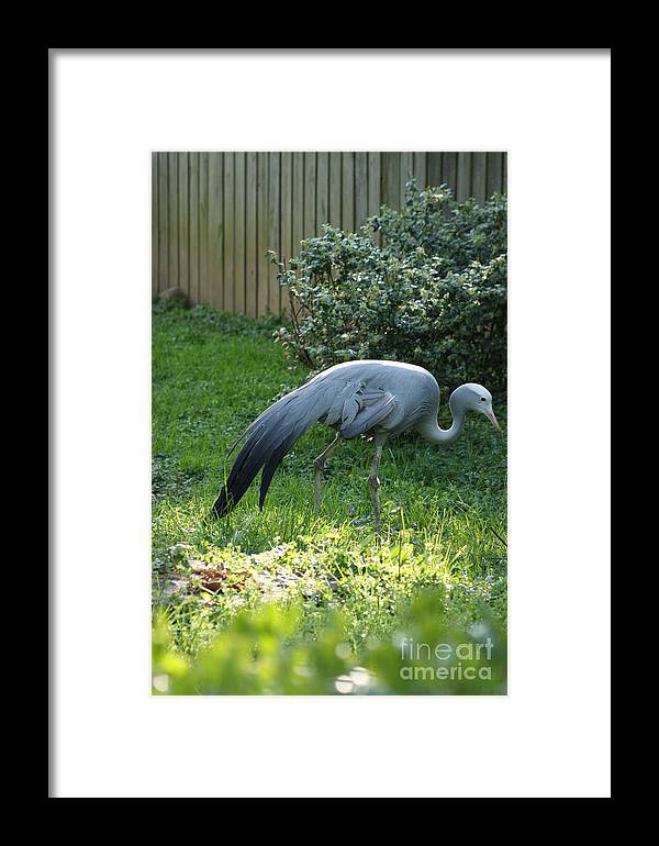Birds Framed Print featuring the photograph Crane 2 by Tina McKay-Brown
