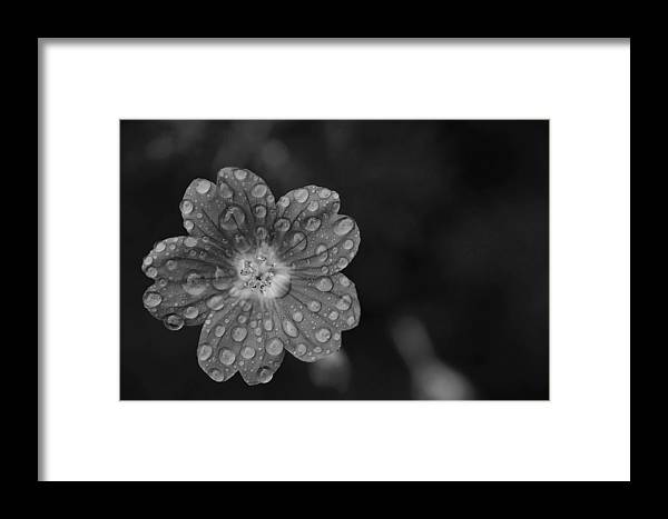 Flower Framed Print featuring the photograph Cranesbill Geranium In Black And White by Thomas Morris