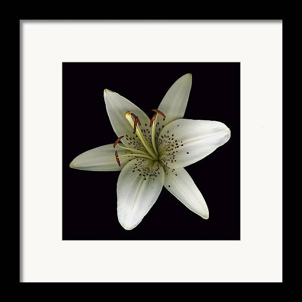 Scanography Framed Print featuring the photograph Cream Lily by Deborah J Humphries