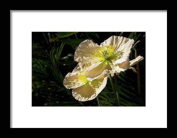 Flower Framed Print featuring the photograph Creamy Poppies by Phyllis Denton