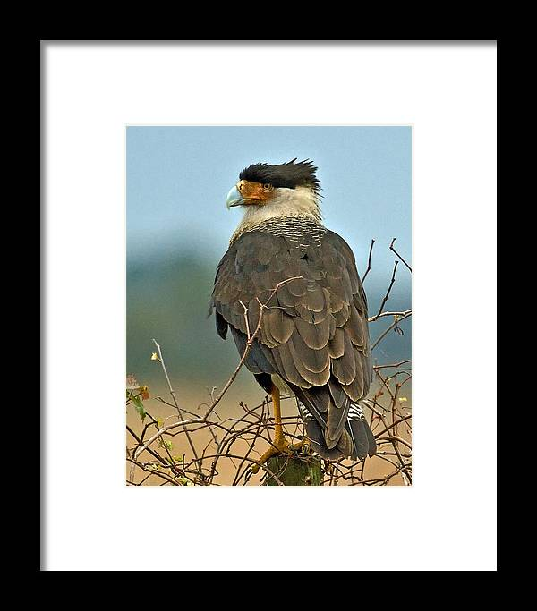 Crested Caracara Framed Print featuring the photograph Crested Caracara by Larry Linton