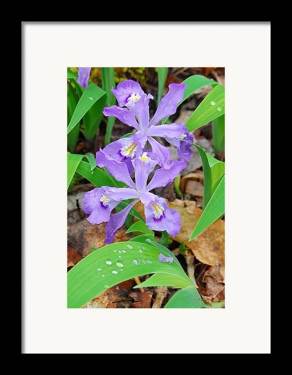 Iris Framed Print featuring the photograph Crested Dwarf Iris by Alan Lenk