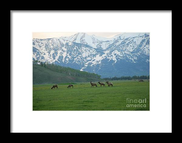 Elk Framed Print featuring the photograph Crossing The Field by Jim Goodman