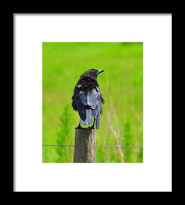 Crow Framed Print featuring the photograph Crow 7 by Amy Spear