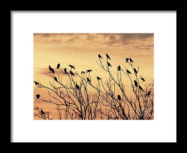 Crows In Their Twitter Cloud.trees Birds Framed Print featuring the mixed media Crows In Their Twitter Cloud. by Heinz G Mielke
