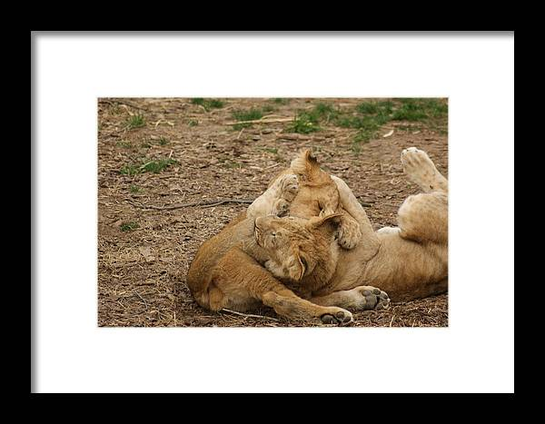 Lion Cubs Framed Print featuring the photograph Cubs Wrestling by Tina McKay-Brown