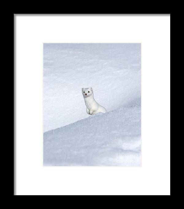 Yellowstone Framed Print featuring the photograph Curious Ermin by Sandra Bronstein