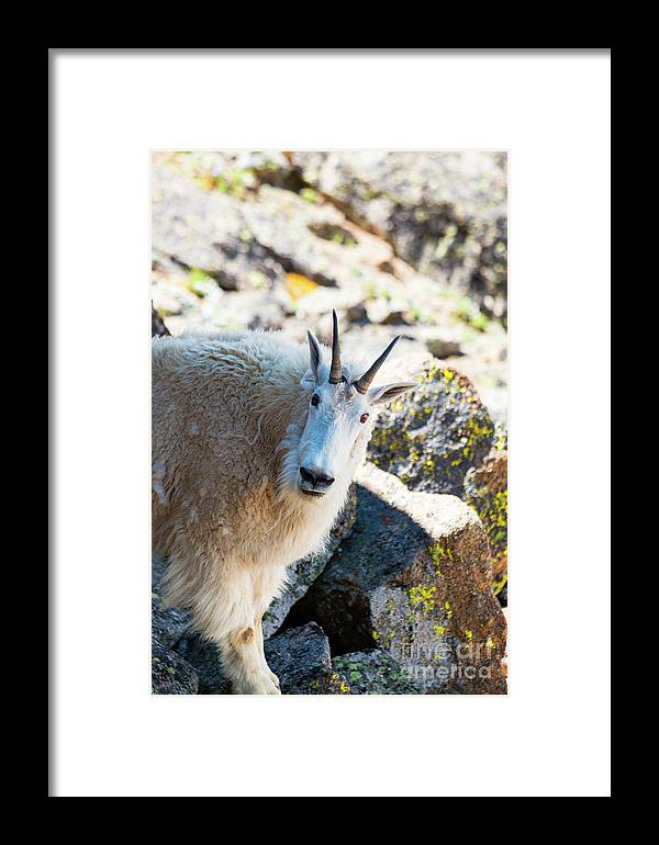 Mount Massive Framed Print featuring the photograph Curious Goat On The Mount Massive Summit by Steve Krull