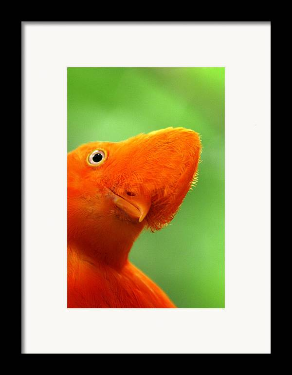 Orange Bird Framed Print featuring the photograph Curious by Linda Russell