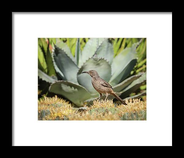 Curve-billed Thrasher Framed Print featuring the photograph Curve-billed Thrasher-img_814418 by Rosemary Woods-Desert Rose Images