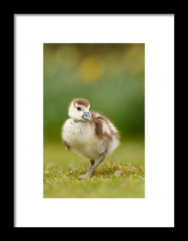 a93069df1e7a Gosling Framed Print featuring the photograph Cute Gosling by Roeselien  Raimond