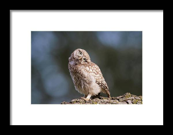 Owl Framed Print featuring the photograph Cute, Moi? - Baby Little Owl by Roeselien Raimond