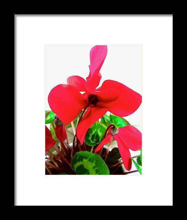 Flower Framed Print featuring the photograph Cyclamen by Stephanie Moore