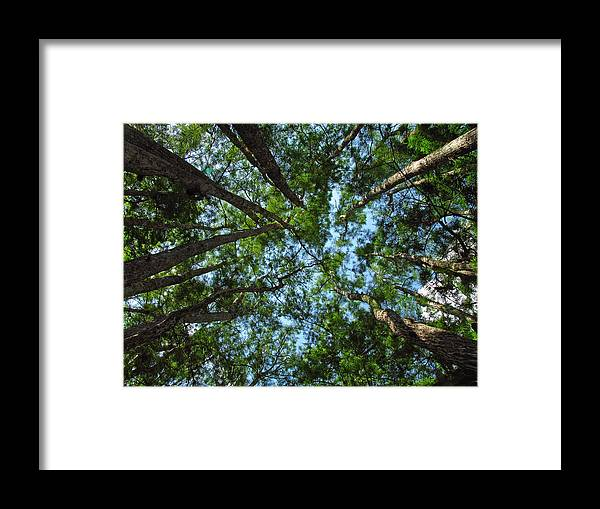 Tree Framed Print featuring the photograph Cypress Tree Canopy by Juergen Roth